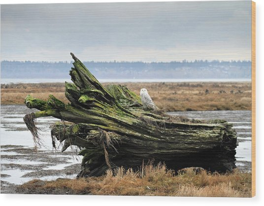 Owls At Boundary Bay Vancouver Wood Print by Pierre Leclerc Photography