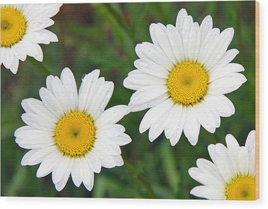 Ox-eye Daisy Wood Print