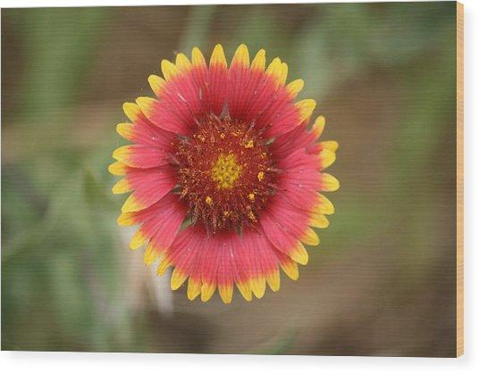 Painted Blanket Flower Wood Print