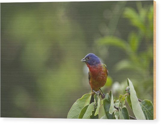 Painted Bunting - 1793 Wood Print