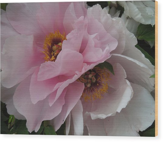 Pair Of Fringed Peonies Wood Print