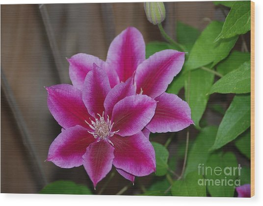 Pair Of Pink Clematis Wood Print
