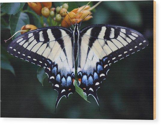 Pale Swallowtail Butterfly-3 Wood Print by Barry Jones