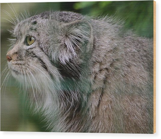 Pallas Cat Wood Print by Karen Grist
