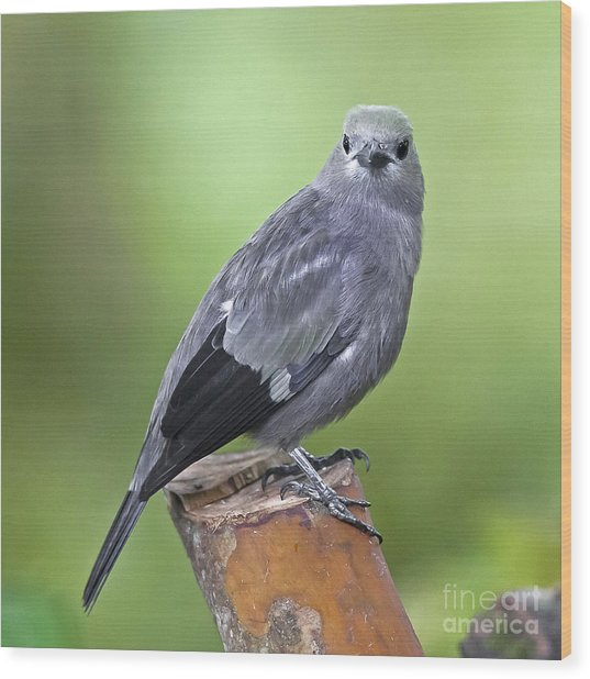Palm Tanager Wood Print