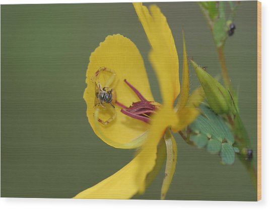 Partridge Pea And Matching Crab Spider With Prey Wood Print
