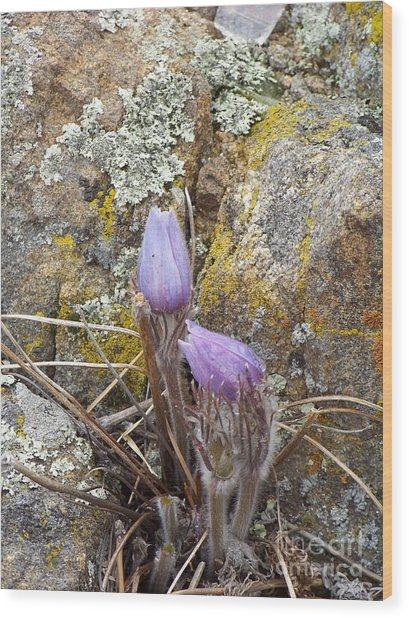 Pasque Flowers Wood Print