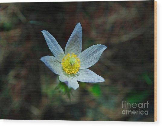 Pasqueflower At Dusk Wood Print