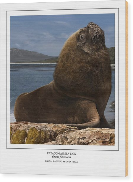 Patagonian Sea Lion Bull Wood Print by Owen Bell