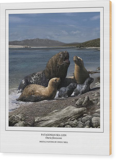 Patagonian Sea Lion Bull With Harem And Pups Wood Print by Owen Bell