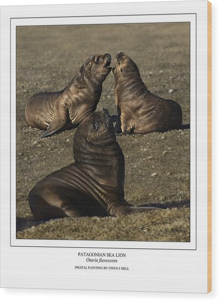 Patagonian Sea Lion Pups Wood Print by Owen Bell