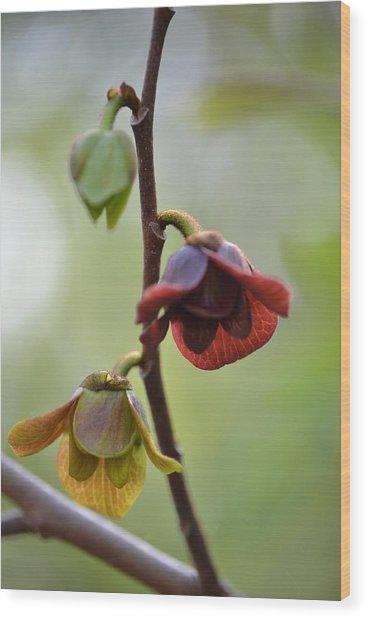 Paw-paw Flowers Wood Print