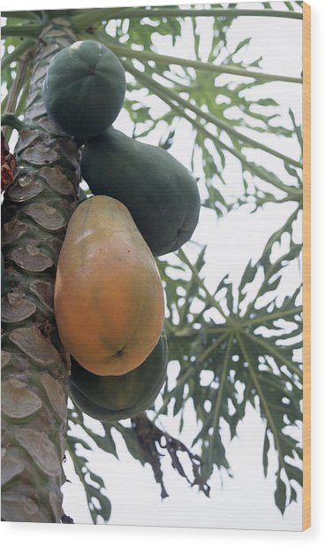 Pawpaw Fruit Wood Print by Veronique Leplat