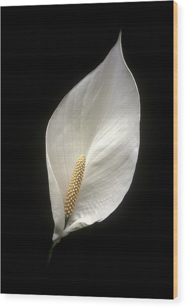 Peace Lily Wood Print by Miguel Capelo