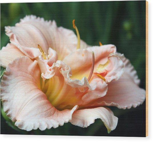 Peach Magnolia Love Affair  Wood Print