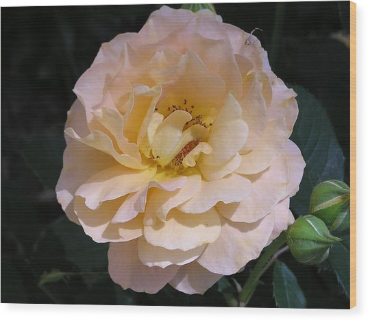 Peach Rose Wood Print by Andrea Drake