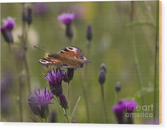 Peacock Butterfly On Knapweed Wood Print