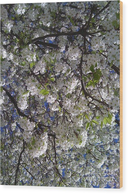 Pear Tree Blossoms Wood Print