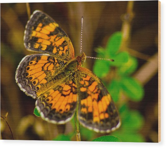 Pearl Cresent Butterfly 2 Wood Print by Barry Jones