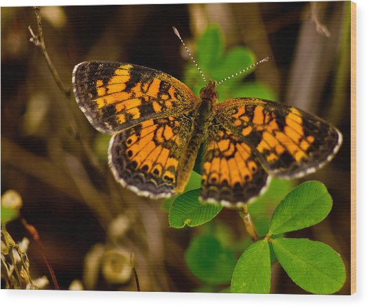 Pearl Cresent Butterfly Wood Print by Barry Jones
