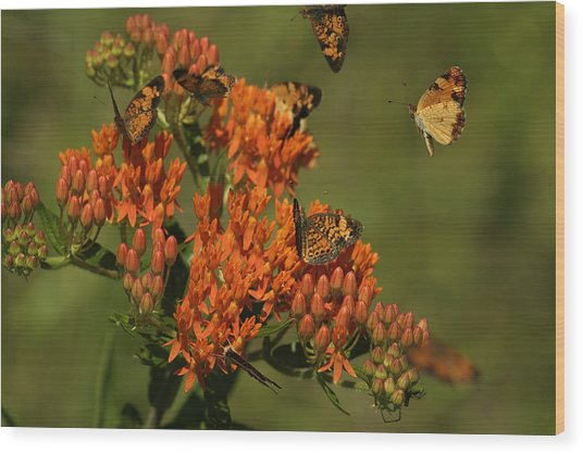 Pearly Crescentpot Butterflies Landing On Butterfly Milkweed Wood Print
