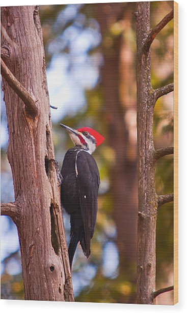Peliated Woodpecker Wood Print