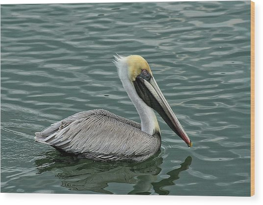 Pelican Out For A Swim Wood Print