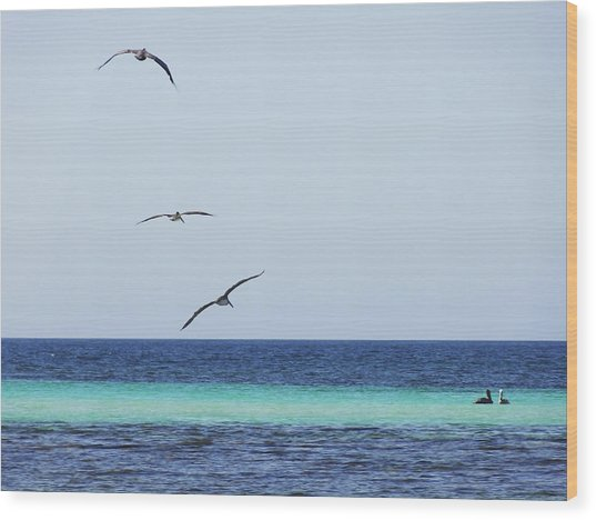 Pelicans In Flight Over Turquoise Blue Water.  Wood Print
