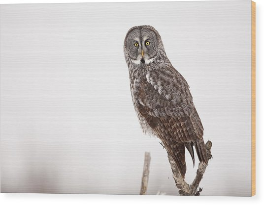Perched Great Gray Owl Wood Print by Tim Grams