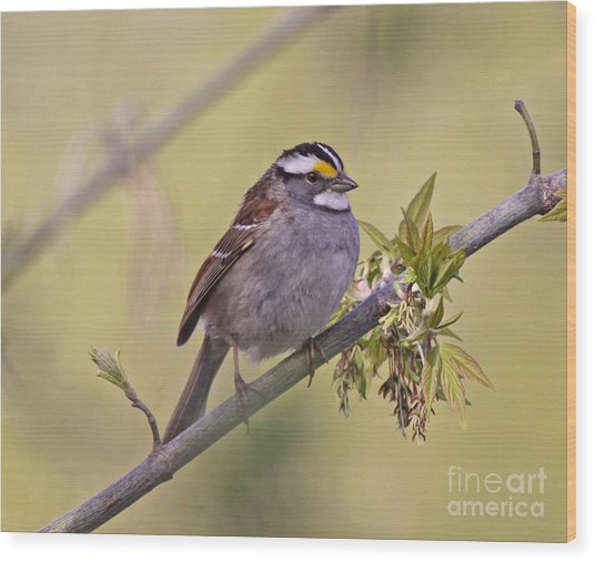 Perched White-throated Sparrow Wood Print by Chris Hill
