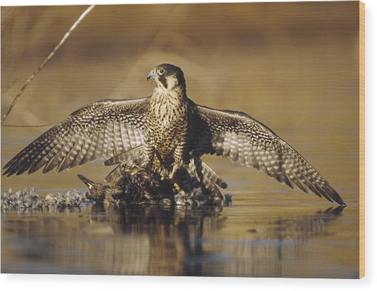 Peregrine Falcon Adult In Protective Wood Print