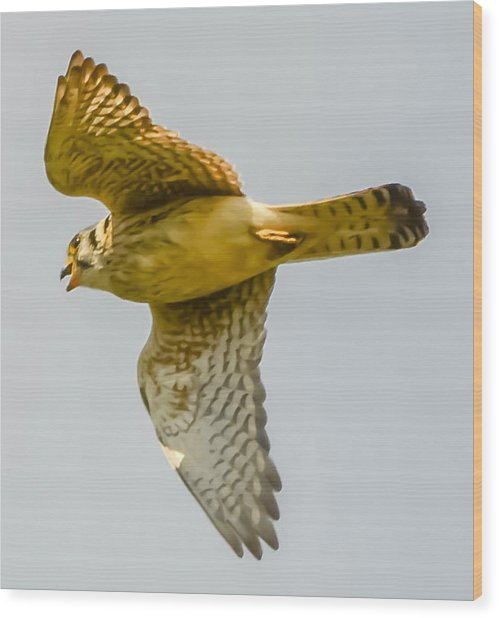 Peregrine Falcon Wood Print by Brian Stevens