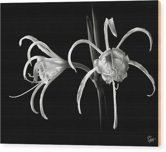 Peruvian Daffodil In Black And White Wood Print