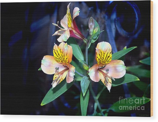 Peruvian Lily In My Garden Wood Print