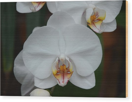 Phalaenopsis Orchid Wood Print by Michael Carrothers