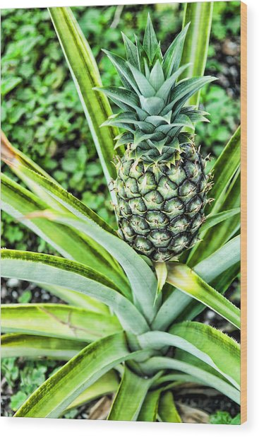 Pineapple Plant Wood Print by Frank Feliciano