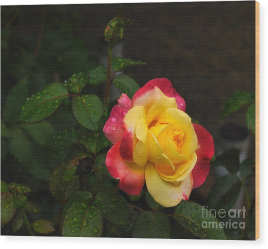 Pink And Yellow Rose 5 Wood Print