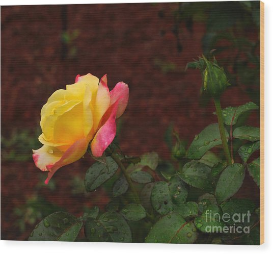 Pink And Yellow Rose 6 Wood Print
