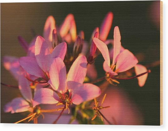 Pink Morning Wood Print