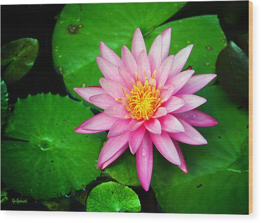 Pink Nymphaea Wood Print