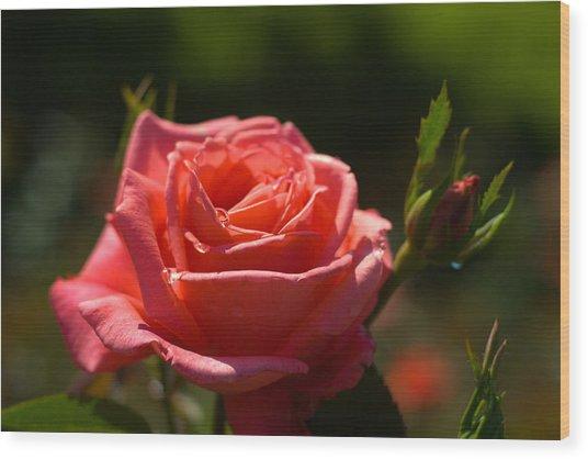 Pink Rose Wood Print by Benjamin Clark