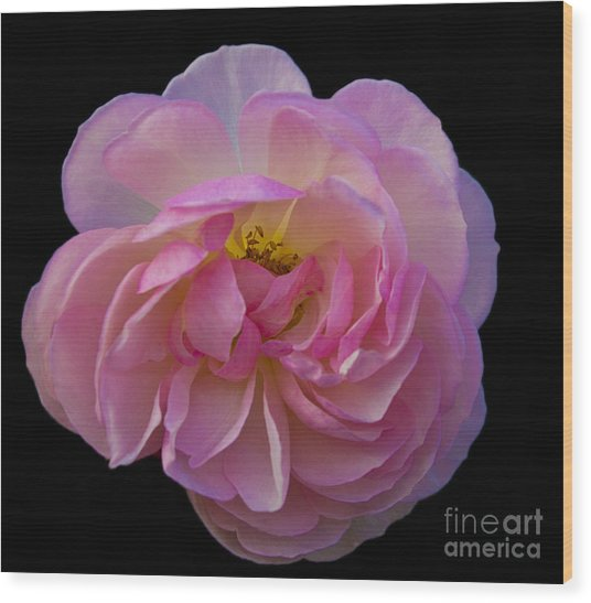 Pink Rose On Black Wood Print by Ursula Lawrence
