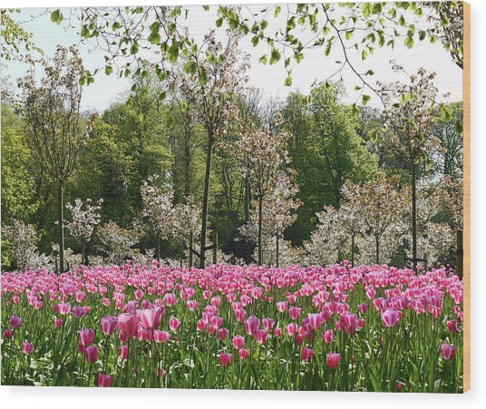 Pink Tulips And Blossom 2 Wood Print