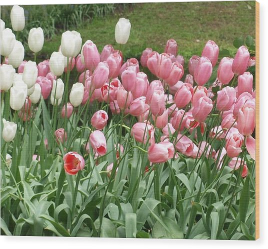 Pink Tulips Wood Print by Larry Krussel