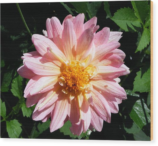 Pink Zinnia From Boldt Castle Wood Print