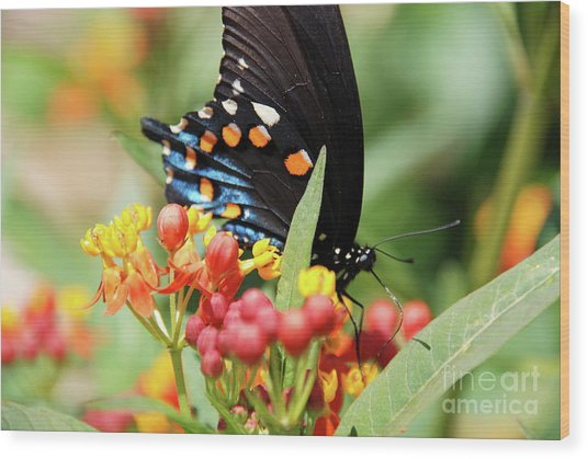 Pipevine Swallowtail Too Wood Print