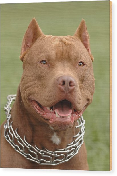 Pitbull Red Nose Dog Portrait Wood Print by Waldek Dabrowski