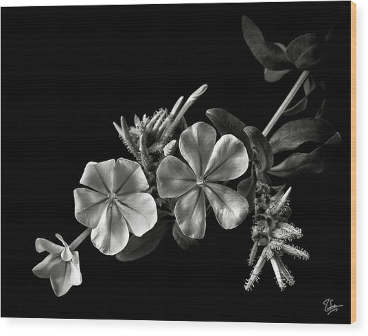Plumbago In Black And White Wood Print