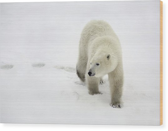 Polar Bear Walking Wood Print