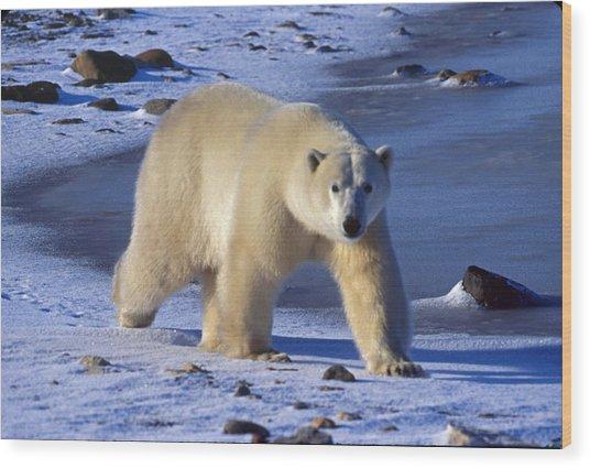 Polar King Wood Print